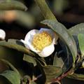 Cosmio Zöld Tea Hidrolátum (Bio)
