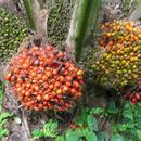 cosmio-bio-finomitott-palmazsirs-jpg