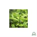 jomtom-teafa-illoolaj-bio-melaleuca-alternifolias-jpg