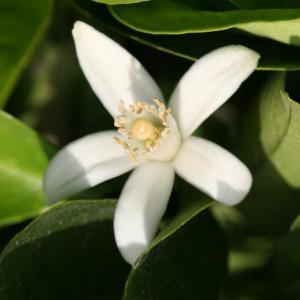 Cosmio Narancsvirágvíz (Bio)