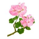 andio-geranium-illoolaj-png